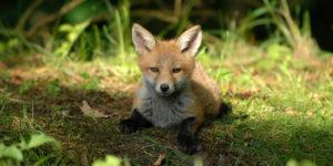 lis na trawie