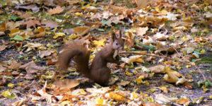 wiewiórka w parku miejskim